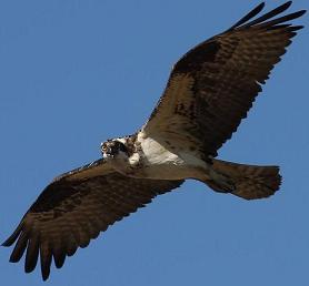 echt comfortabel op voeten bij dichterbij Osprey