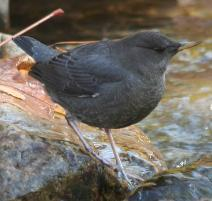 Water Ouzels