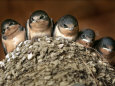 Barn-swallow-young